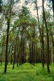 Teak tree. Plantation teak tree and green grass Stock Images