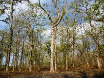 Free Teak Trees Stock Images - 36295994