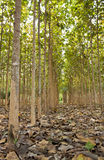 Teak trees in an agricultural Royalty Free Stock Photos