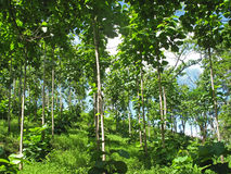 Teak trees in an agricultural forest, Costa Rica. Central America Stock Images