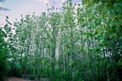 Teak trees Stock Photography