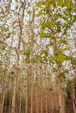 Teak trees in an agricultural forest Royalty Free Stock Photo