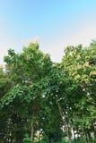 Teak Trees. Teak trees on blue sky Stock Images