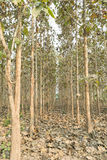 Teak trees. Fallen leaves on ground and teak trees forest. Corridors Stock Photos