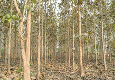 Teak trees. Fallen leaves on ground and teak trees forest. Corridors Stock Image