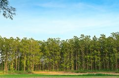 Teak Trees. Growing teak plantations in northern of Thailand Royalty Free Stock Photography