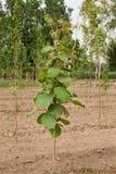 Teak trees plantation Stock Photography