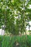 Teak trees planted Stock Images