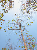 Teak trees with sky Royalty Free Stock Image