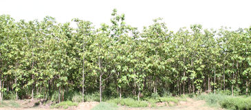 Teak trees. Tree in the forests of Thailand Royalty Free Stock Photography