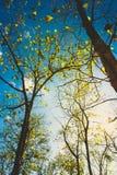 Teak treetop Royalty Free Stock Image