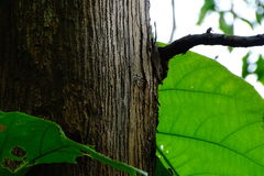 Teak Wood Bark Royalty Free Stock Images