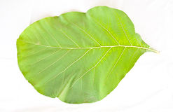 Teak wood leaf Royalty Free Stock Photo