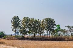 Teak wood small trees in a row newly plantations a side of paddy farm. stock photos