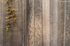 Teak wooden wall background. With vine leaf in autumn Royalty Free Stock Image