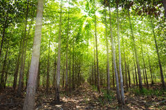 Teakholzwälder Stockfoto