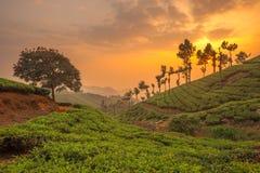 Teakolonier i Munnar, Kerala, Indien Arkivfoton
