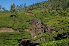 Teakolonier i Munnar, Kerala, Indien royaltyfri bild