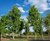 Teakträträd och den blåa himlen Arkivfoton
