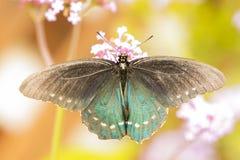 Teal и черная бабочка, конец вверх по съемке макроса стоковое изображение rf