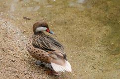 Teal птицы Стоковая Фотография RF