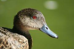 teal серого цвета утки Стоковое Изображение RF