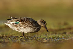 Teal, Anas crecca Royalty Free Stock Images