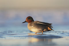 Teal, Anas crecca Stock Images