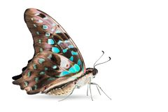 Teal color Tailed Jay Graphium agamemnon butterfly Royalty Free Stock Images