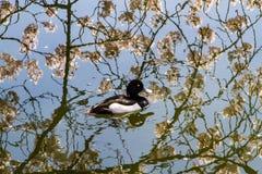 Teal dans l'étang de Sakura photographie stock libre de droits