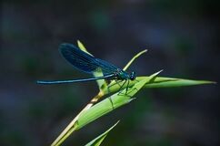 Teal Dragonfly on a Green Leafed Plant during Daytime Royalty Free Stock Images