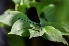 Teal Dragonfly mit schwarzen Flügeln auf einem Blatt Lizenzfreies Stockfoto