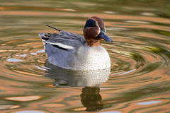 Teal Duck Stock Images