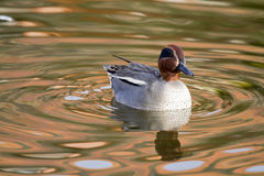Teal Duck Royalty Free Stock Image
