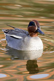 Teal Duck Stock Photography