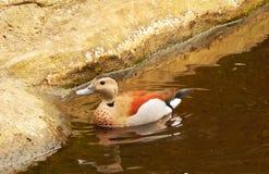 Teal Duck Bolivia rodeado Fotos de Stock Royalty Free
