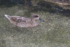 Teal Duck marbré photos stock