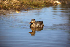 Teal Duck Swimming Royaltyfria Bilder
