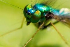 Teal fly Royalty Free Stock Photography
