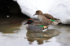 Teal pair on the winter pond Stock Image