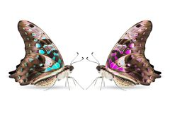Teal and purple color Tailed Jay Graphium agamemnon butterfly Royalty Free Stock Image
