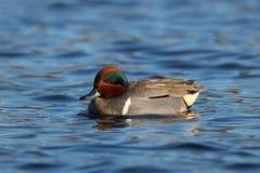Teal Swimming à ailes par vert masculin sur l'eau bleue Photos libres de droits
