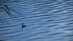 Teal Swimming en el lago en el tiempo de la puesta del sol almacen de metraje de vídeo