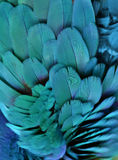 Teal/Turquoise Macaw Feathers. Macro photo of teal macaw feathers stock image