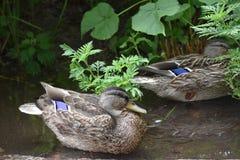 Teal Winged Duck photo libre de droits