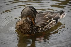 Teal Winged Duck photo stock