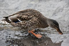 Teal Winged Duck photos libres de droits