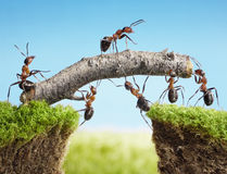 Team of ants constructing bridge, teamwork. Team of ants constructing bridge with log, teamwork Royalty Free Stock Images