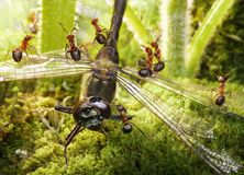 Team of ants find dragoonfly Stock Images