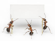 Team of ants holding blank, message or billboard. Team of ants hoding blank, message, placard or advertising billboard royalty free stock photography